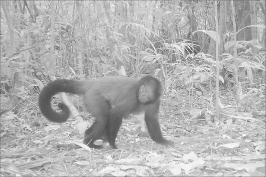 Monitoramento de onça pintada revela a presença de outros animais ameaçados de extinção no Sul da Bahia