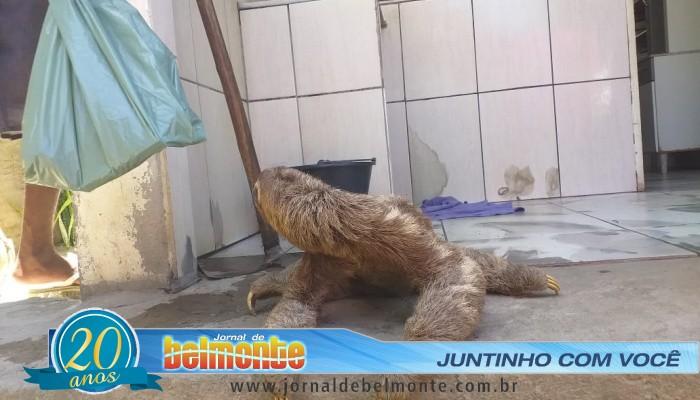 Bicho-preguiça aparece em residência no bairro da Biela em Belmonte